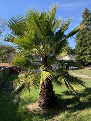 Palm Tree for Sale in Castro Valley, CA