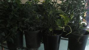 Chilli ,mint and rue plant s for Sale in Vista, CA