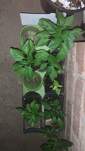 Bell pepper plants for Sale in Salinas, CA