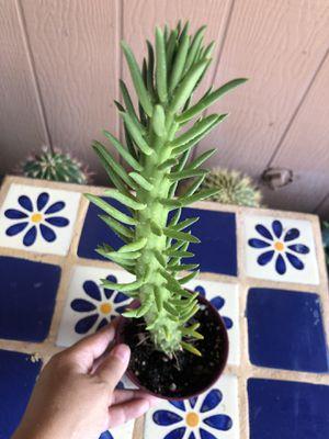 Succulent Cactus Plant Opuntia Eve's Needle for Sale in Chandler, AZ