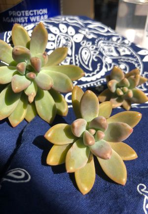 Succulent Cuttings for Sale in Westchester, IL