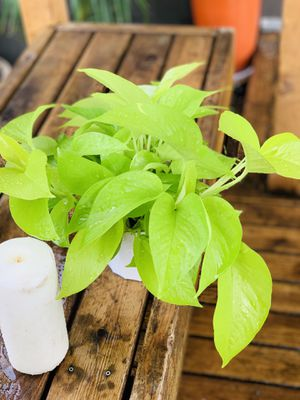 Live Indoor Neon Pothos plant in a plastic nursery planter pot—firm price for Sale in Seattle, WA