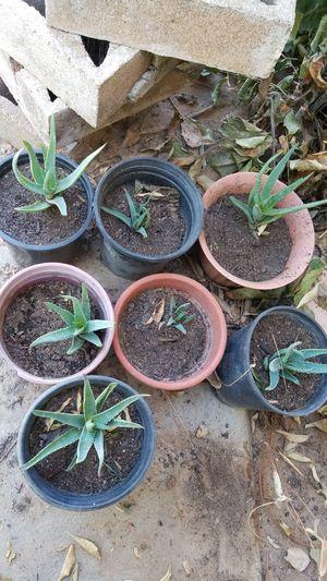 Aloe vera for Sale in San Francisco, CA
