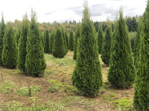 Emerald green Arborvartie for Sale in Woodburn, OR