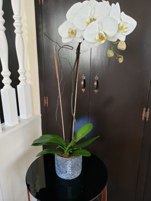 Orchid Plant for Sale in Arcadia, CA
