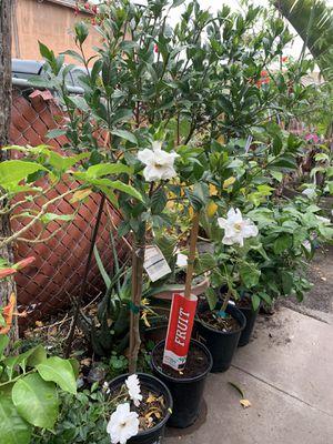 Gardenia blanca 35 dls for Sale in Vallejo, CA