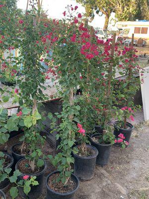 Bugambilias few left for Sale in Fresno, CA
