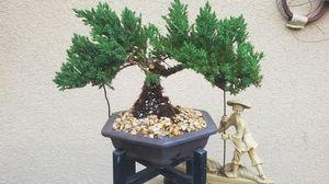 Bonsai juniper nana for Sale in Fresno, CA