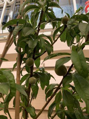Peach tree for Sale in Las Vegas, NV