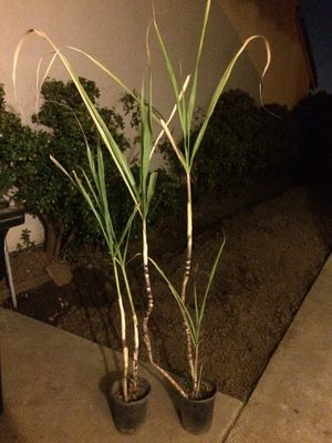 Sweet potted sugar cane plants for Sale in San Jose, CA