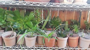 Organic Succulents Rooted Cuttings Plants Aloe Aeonium Stapelia Epiphyllum for Sale in Sacramento, CA