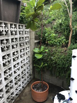 7ft Fiddle Leaf Tree- Fig Plant in pot for Sale in Los Angeles, CA