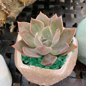 Flores De Succulent Pequeñas $6 Each for Sale in Downey, CA