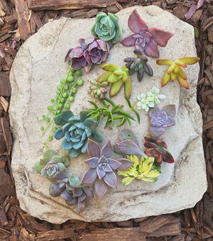 Succulent Cuttings for Sale in Turlock, CA
