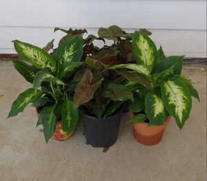 Red and green dieffenbachia house plants$10-$12 each for Sale in St. Louis, MO