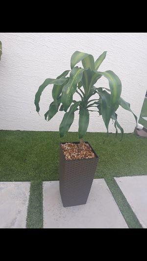 Dracaena plant pot incluye for Sale in Hialeah, FL