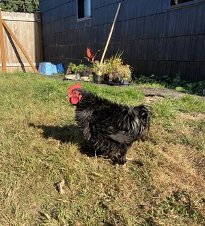 Black frizzle rooster for Sale in Tukwila, WA
