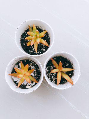 "Live Sedum Coppertone Succulents in 3""-2.5"" cup for Sale in Houston, TX"