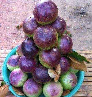 Caimito grafted trees in 7 gal arboles de caimito injertado en 7 gal for Sale in Delray Beach, FL
