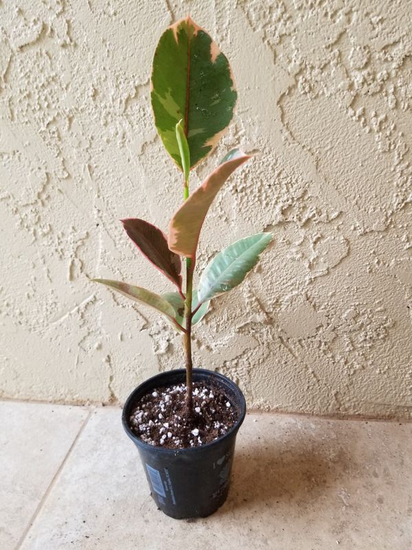 Variegated Rubber Plant Ficus Elastica 'Tineke' - over 12 inches tall
