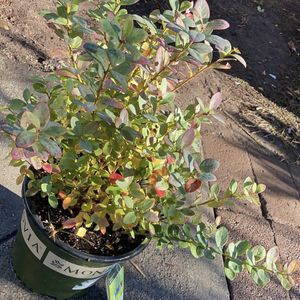 Blueberry Plant For Sale!! for Sale in Concord, CA