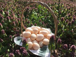 Duck Eggs for Those in Need for Sale in BETHEL, WA