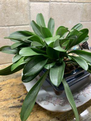 Orchid for Sale in Black Diamond, WA