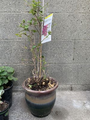 "Bougainvillea ""Elizabeth Angus"" with ceramic pot for Sale in Torrance, CA"