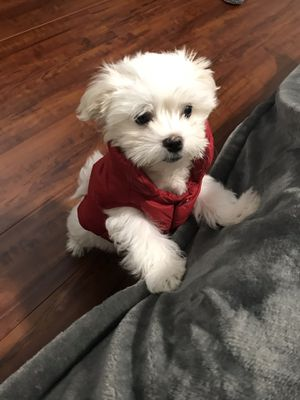 98% winter coat for small dog for Sale in Garden Grove, CA