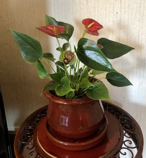 "Live Laceleaf (Anthurium) plant (13"" tall with 5 healthy flowers) in a gorgeous 6.5"" ceramic pot with attached saucer for Sale in Las Vegas, NV"