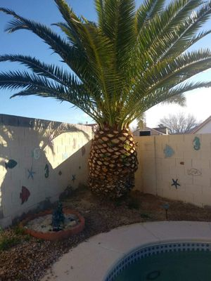 PALM tree for Sale in Henderson, NV