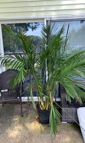 8 ft palm tree house plant for Sale in Virginia Beach, VA