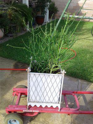 Succulent Plant for Sale in Ontario, CA