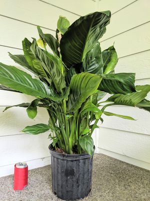Giant Peace Lily Flower Plants - Real Indoor House Plant for Sale in Auburn, WA
