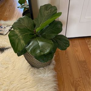 Fiddle Leaf Fig Plant for Sale in Washington, DC