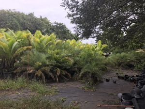 Sylvester date palms for Sale in Pompano Beach, FL