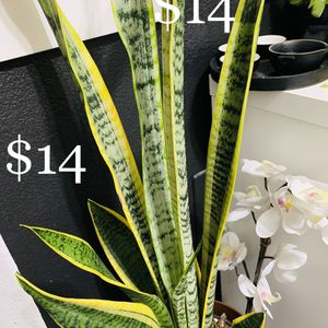"Snake plant or Monther In-Law's Tongue in 7"" Plastic Planter Almost 45"" Tall for Sale in Henderson, NV"