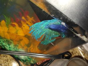Blue betteae fish and tank good net etc for Sale in Salt Lake City, UT