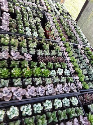 "2"" pots with new variety in unique succulent plants this week only $1.25 each and $60 for tray of 64 for Sale in Whittier, CA"