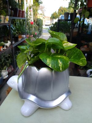 GDEN POTHOS INDOOR PLANT for Sale in Paramount, CA