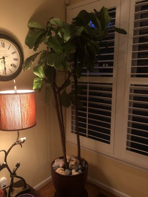 Live fiddle fig plant for Sale in Clifton, VA