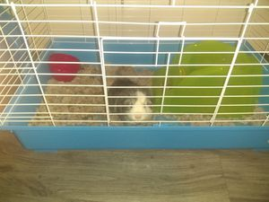 Ginny pig for Sale in Evansville, IN