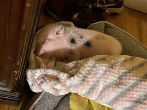 Baby micro pig for Sale in Arlington, TX