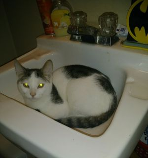 Free boy cat 8 months old for Sale in Niagara Falls, NY