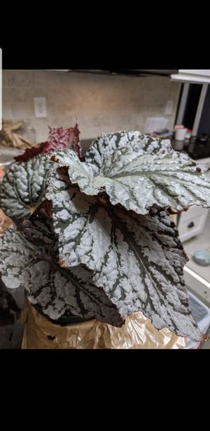 Rex begonias plants makes also great gift for Sale in Lathrop, CA