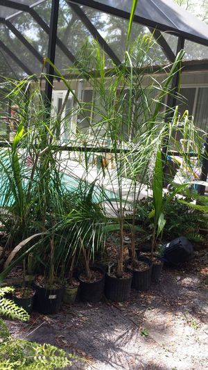 Potted Queen Palm trees for Sale in Riverview, FL