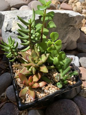 Real /live succulent plants in a pot for Sale in Las Vegas, NV