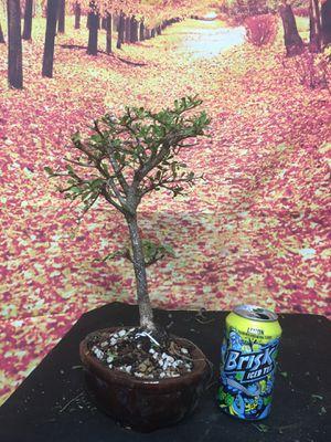 Bonsai: Bucida for Sale in Malden, MA
