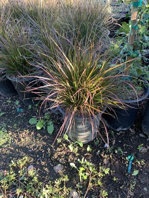 Purple fountain grass grass for Sale in Perris, CA