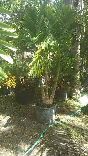 25 gallon singles doubles and triples Christmas foxtail Palms for Sale in Orlando, FL